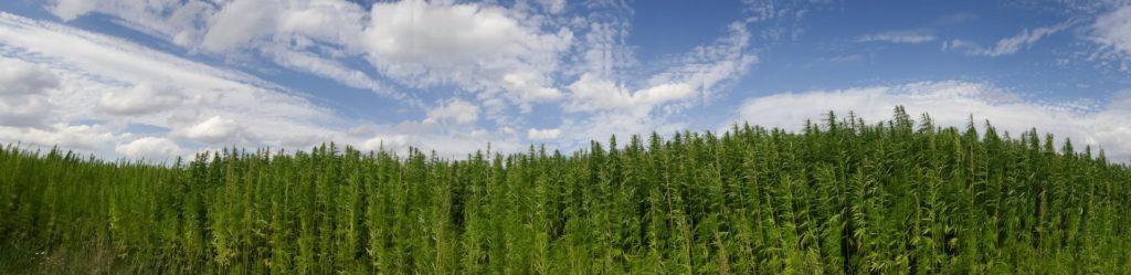 cbditaly cannabis on a farm